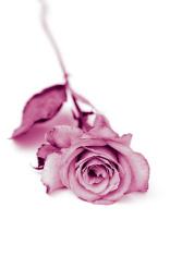 pink laying rose