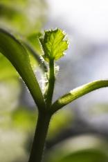 New leaf of a cougette or Zucchini - Cucurbita pepo