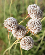 Dried White Flowers on Green Background