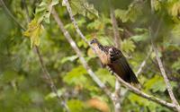 Hoatzin bird in the Amazon Rainforest of Peru