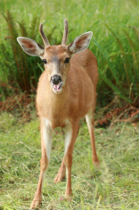 Young Buck Eating