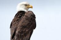 Bald Eagle with Plain Background