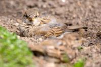 House Sparrow Dust Bathing