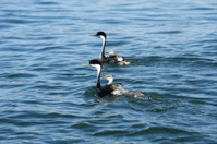 Western Grebe with young onboard