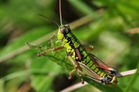 Sun Bathing Grasshopper