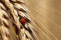 Lady bug on barley ear