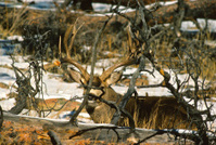 Hidden Mule Deer Buck