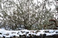 olivenbaum mit schnee stockfotos. Black Bedroom Furniture Sets. Home Design Ideas