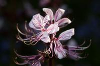 Burning Bush (Dictamnus albus)