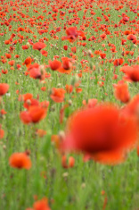 Red poppy flowers ( papaver rhoeas )