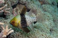 Pyjama Cardinalfish Sphaeramia nematoptera over Anchor Bubble Co