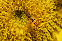 Hoverfly on Sunflower