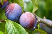 Purple Plum Orchard