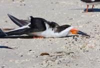 Black Skimmer Resting on Sandy Beach