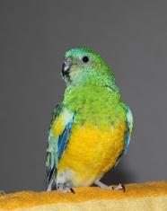 Red Rump Australian parakeet