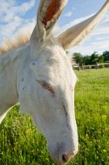 Portrait of a white donkey (ass)