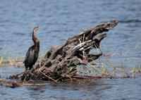 African Darter, Anhinga rufa; Chobe River, Botswana