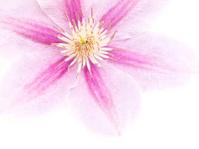 flower, clematis