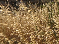 Grasses of the field