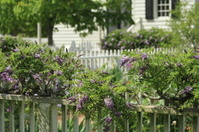 Wisteria and Picket Fence