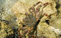 Wild crab walking on a stone reef