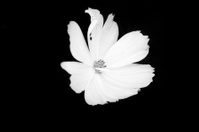 Cosmos Flower Series