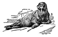 Walrus | Antique Animal Illustrations