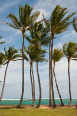 Coconut Palms on Kauai East Coast 2