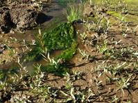 Wetlands Algae