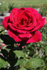 perfect red rose portrait