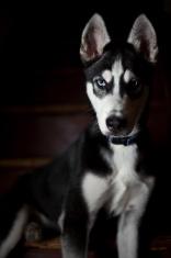 Shadow Siberian Husky