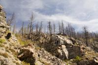 burnt pine trees