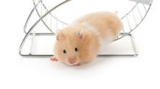 Teddy Bear Hamster