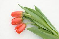 Tulips on snow