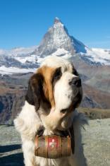Saint Bernard dog with Matterhorn