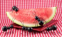 Black Ants Eating Watermelon