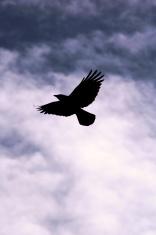 raven in the sky