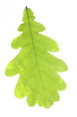 Oak wet green leaf