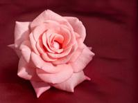 Pink Rose on Silk