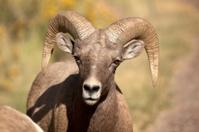 Wild Bighorn Sheep Ram Face in Colorado