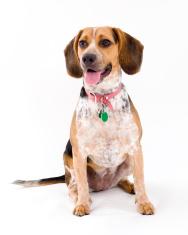 Cute Beagle Sitting