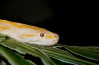 Albino Boa Constrictor Portrait