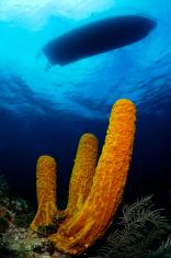 Underwater Scene with Cayman Sponge