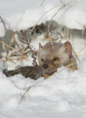 Pine Martin hiding in snow