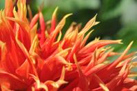 Petals of Dahlia