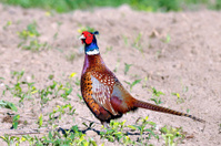 Common pheasant male