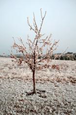 Lone, Frozen Tree
