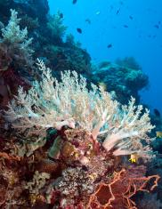 White Soft corals