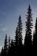spruce sillouette