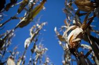 Hanging harvest corn ear in a fall sun